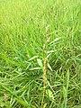 Persicaria maculosa (36356834902).jpg