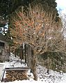 Persimmon tree in winter (Nagano prefecture, Japan).jpg