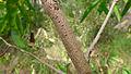 Persoonia adenantha bark (16118438025).jpg