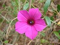 Petunia littoralis 1