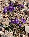 Phacelia crenulata 10.jpg