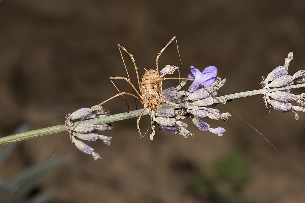 Kosec rožkatý - samička zpredu