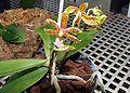 Phalanopsis Mannii plant.JPG