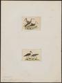 Phalaropus wilsonii - 1700-1880 - Print - Iconographia Zoologica - Special Collections University of Amsterdam - UBA01 IZ17400376.tif