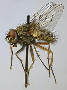 <i>Phaonia errans</i> species of insect