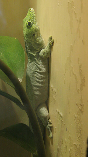 Description de l'image Phelsuma standingi.jpg.