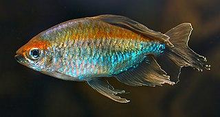 <i>Phenacogrammus</i> genus of fishes