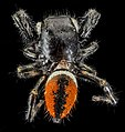 Phidippus clarus, MD, PG County 2013-07-30-16.39.33 ZS PMax (9404908970).jpg