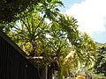 Philodendron bipinnatifidum Schott ex Endlicher - 2013 000.JPG