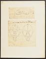 Phoca monachus - 1700-1880 - Print - Iconographia Zoologica - Special Collections University of Amsterdam - UBA01 IZ21100179.tif