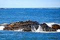 Phoca vitulina - Kejimkujik Seaside.jpg