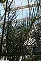 Phoenix dactylifera Medjool 2zz.jpg