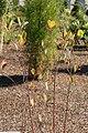 Photinia melanocarpa 2zz.jpg