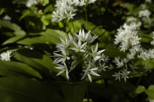 Allium ursinum - Wild garlic in Hampshire, UK.