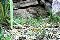 Phyllanthus ussuriensis 04.JPG