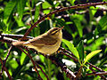 Booted Warbler IMG 2455.jpg