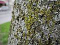 Physconia grisea 2.jpg