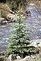 Picea pungens USDA2.jpg