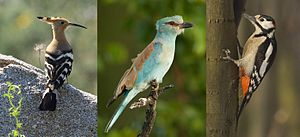 Picocoraciae - From left to right: Hoopoe (Upupa epops), European roller (Coracias garrulus) and Great spotted woodpecker (Dendrocopos major)