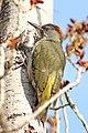 Picus viridis sharpei 080.jpg