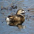 Pied-billed Grebe (17158806485).jpg