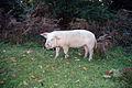 Pig (1971147102).jpg