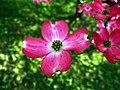 Pink-dogwood-3-04242008 - West Virginia - ForestWander.jpg