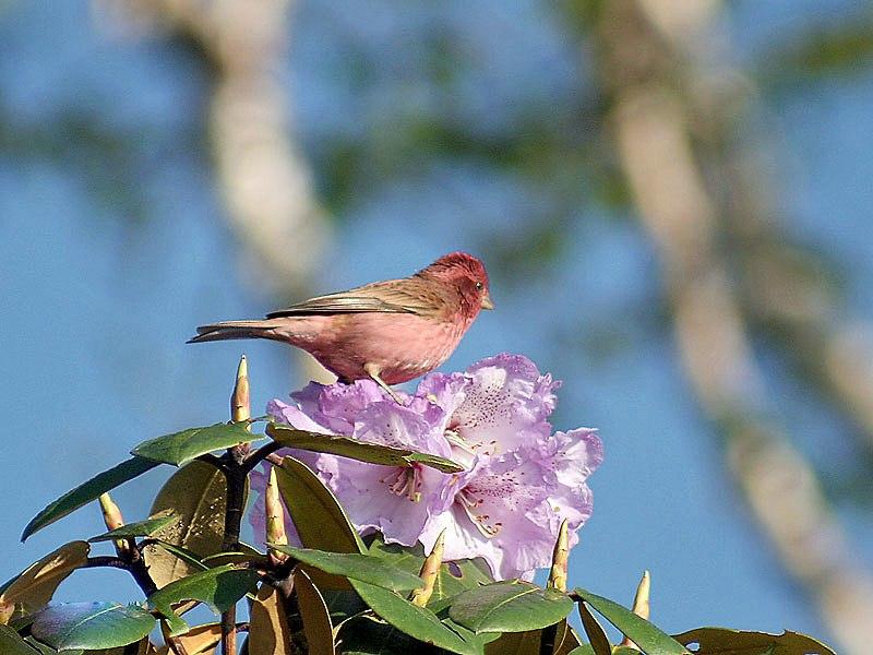Pink browed Rosefinch (Male)- Himachal- IMG 3799