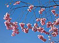 Pink double cherry blossoms in Torp 10.jpg