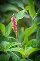 Pinkweed (Polygonum pensylvanicum) (21143913879).jpg