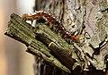 Pinnow Dendrolimus pini Gradation 05.JPG