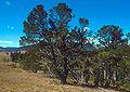 Pinus flexilis USDA.jpg
