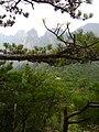 Pinus hwangshanensis, Huangshan 3.jpg