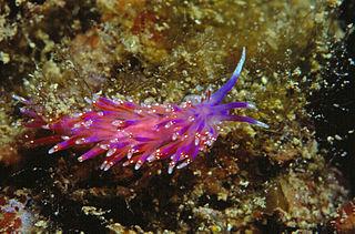<i>Piseinotecus</i> genus of molluscs