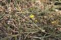 Pityopsis graminifolia 10zz.jpg