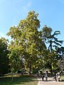 Plàtan - arbre d'interès local - Jardins de Vil·la Amèlia P1280074.jpg