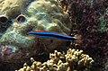 Plagiotremus rhinorhynchos Maldives.JPG