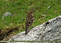 Plain Mountain Finch (Leucosticte nemoricola) (23270533232).jpg
