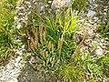 Plantago maritima plant (11).jpg