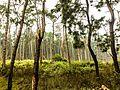 Plantation near Lambasinghi.jpg