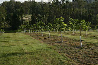 Millettia pinnata - Pacific Renewable Energy trial plantation in Caboolture, Queensland.
