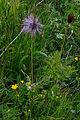 Plants from Passo Pordoi 17.jpg