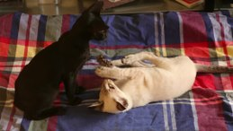 Bestand:Play fight between cats.webmhd.webm