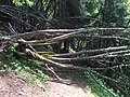 Plethora of fallen trees on Hiking Trail near Chamonix, France - panoramio.jpg