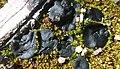 Plicaria carbonaria Fuckel 955951.jpg