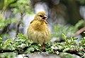 Ploceus velatus beak open.jpg