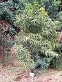 Podocarpus neriifolius in Koishikawa gardens.jpg