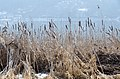 Poertschach Halbinselpromenade Typha angustifolia 23022015 4912.jpg