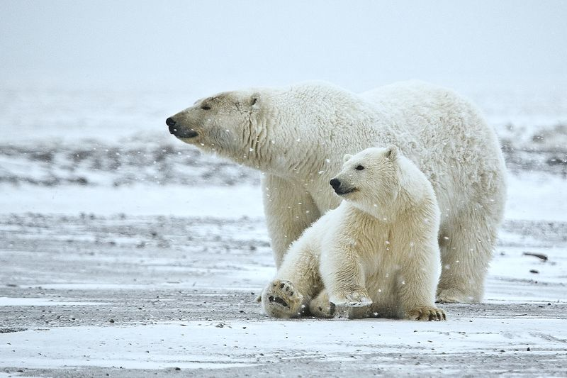 two polar bears on snowy tundra