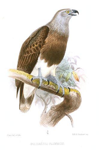 Lesser fish eagle - Image: Polioaetus Plumbeus Smit